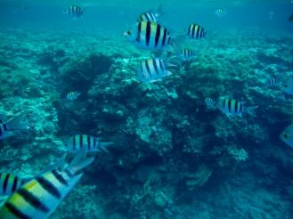 School of Indo-Pacific Sergeant Fish