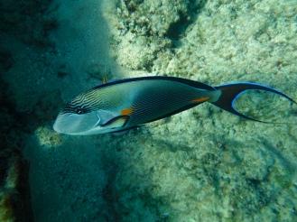 Sohal Fish!