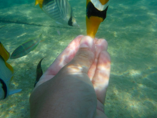 A Racoon Butterfly Fish eating from my hand. A Klunzinger's Wrasse swimming close.