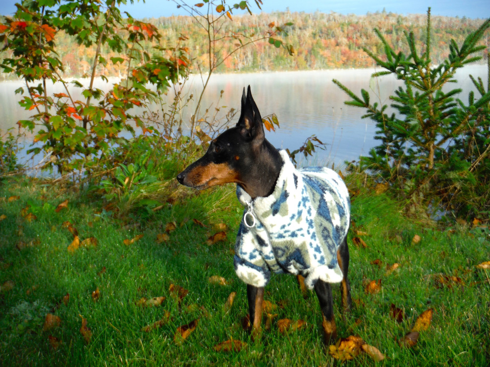 Marlow, my Toy Manchester Terrier. February 18, 2018, at 14 years of age, my beloved Marlow crossed The Rainbow Bridge