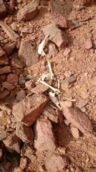 Bones of what appears to be a desert fox.....long hairs of what would be the tail were not yet decomposed back into the earth.....