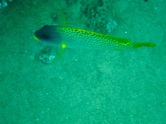 Black-Spotted Sweetlip Fish