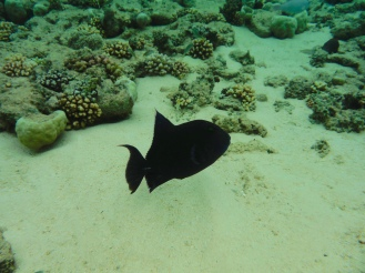 Triggerfish - Red Tooth or Blue?