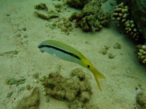 Red Sea Goatfish