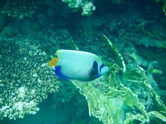 Emperor Angelfish ?