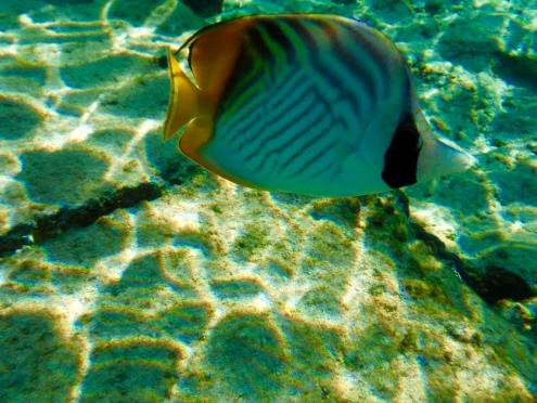 Threadfin Butterfly Fish