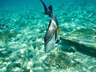 Sohal Fish
