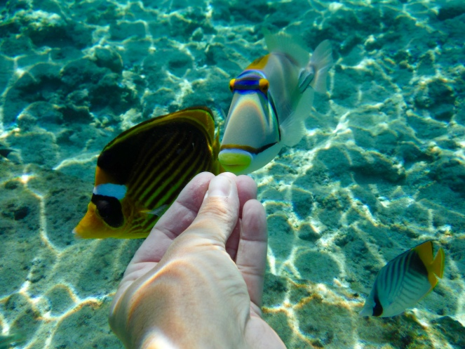 Racoon Butterfly Fish and a Picasso Trigger Fish