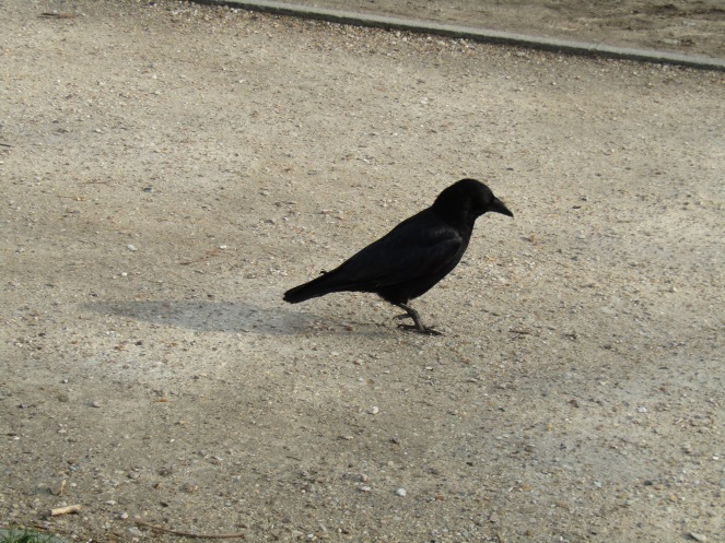 I miss crows!! Qatar does not have crows!!!