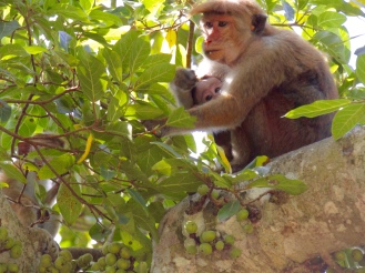Toque macaque monkey and her baby.