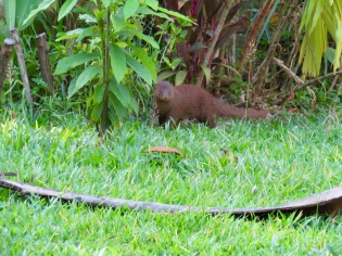 A mongoose strolling along the garden.