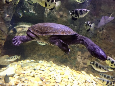 Long Neck Turtle