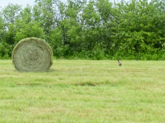 A male pheasant beside a bail of hay