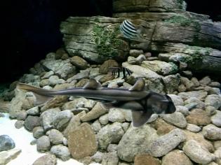 A shark from Australia