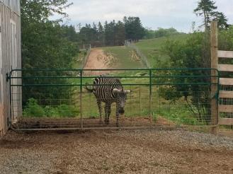 Zebra - close-up