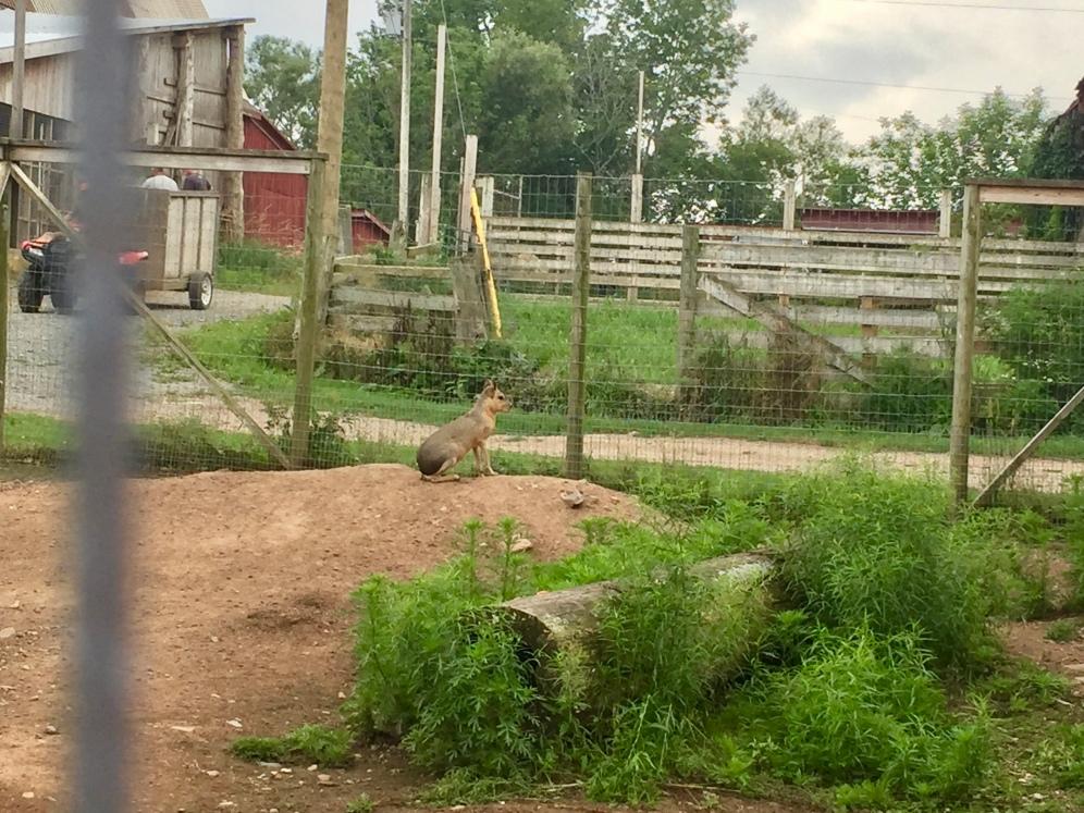 Weird Rabbit/Rodent Animal from Argentina