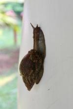 Carnoustie - Snail