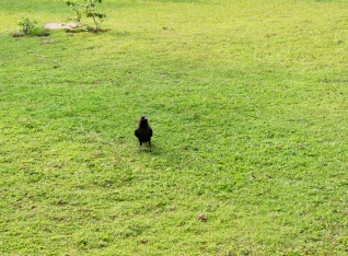 Carnoustie - House Crows