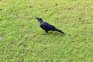 Carnoustie - House Crow