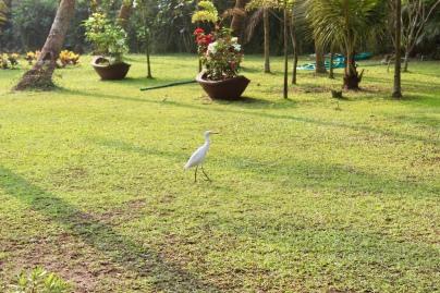 Carnoustie - Cattle Egret
