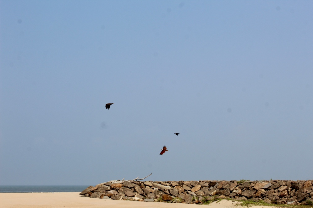 Lesser Fish Eagle, Red-Backed Sea Eagle and House Crow