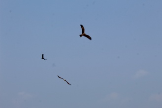 Lesser Fish Eagle - wings out with a Red-Backed Sea Eagle and a House Crow