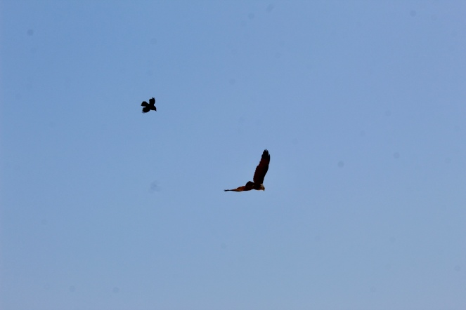 House Crow and Red-Backed Sea Eagle