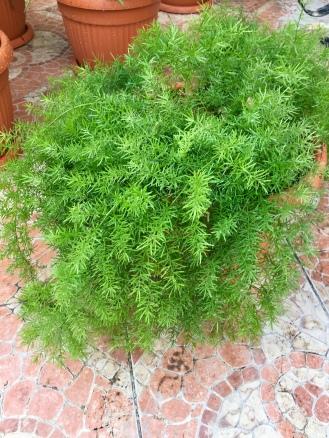 Fern like plant