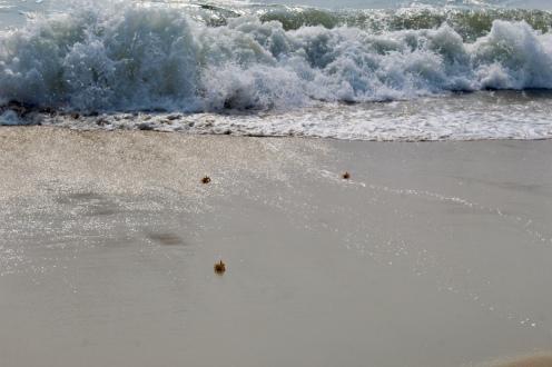 Carnoustie - Thiruvizha Beach - Crabs
