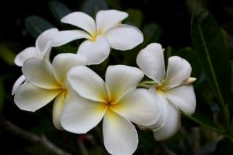 Carnoustie - Flowers