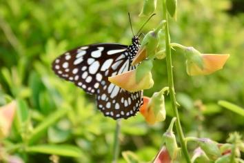 Carnoustie - Gardens - Butterflies