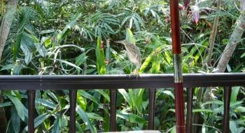 Carnoustie - Indian Pond Heron