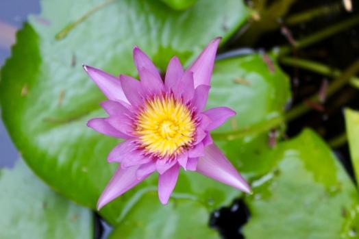 Carnoustie - Villa - Lily Pond