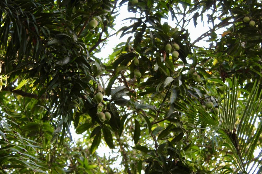 Carnoustie - Mango Trees