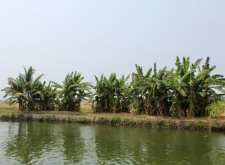 Kerala - Small Banana Trees