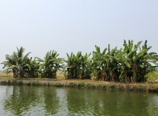 Kerala - Small Banana Trees