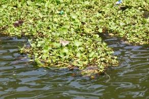 Kerala - Indian Pond Heron