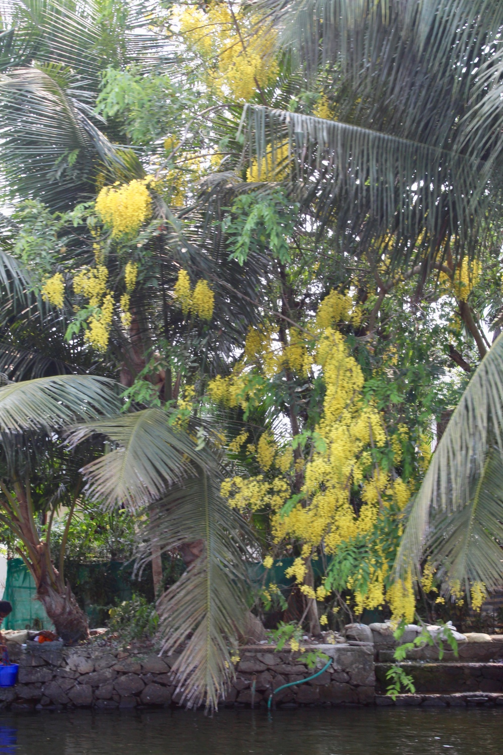Kerala - Yellow Blossoming Tree