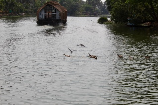 Kerala - Ducks and House Crows