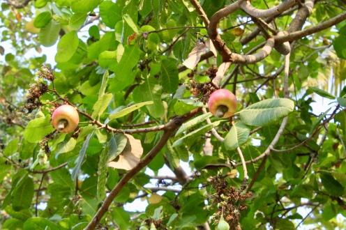 Carnoustie - Cashew Tree