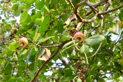 Carnoustie - Cashew Tree