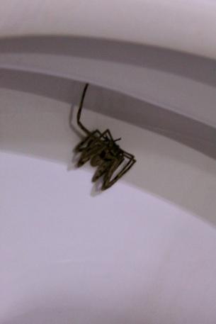 Carnoustie - Spider in Toilet!