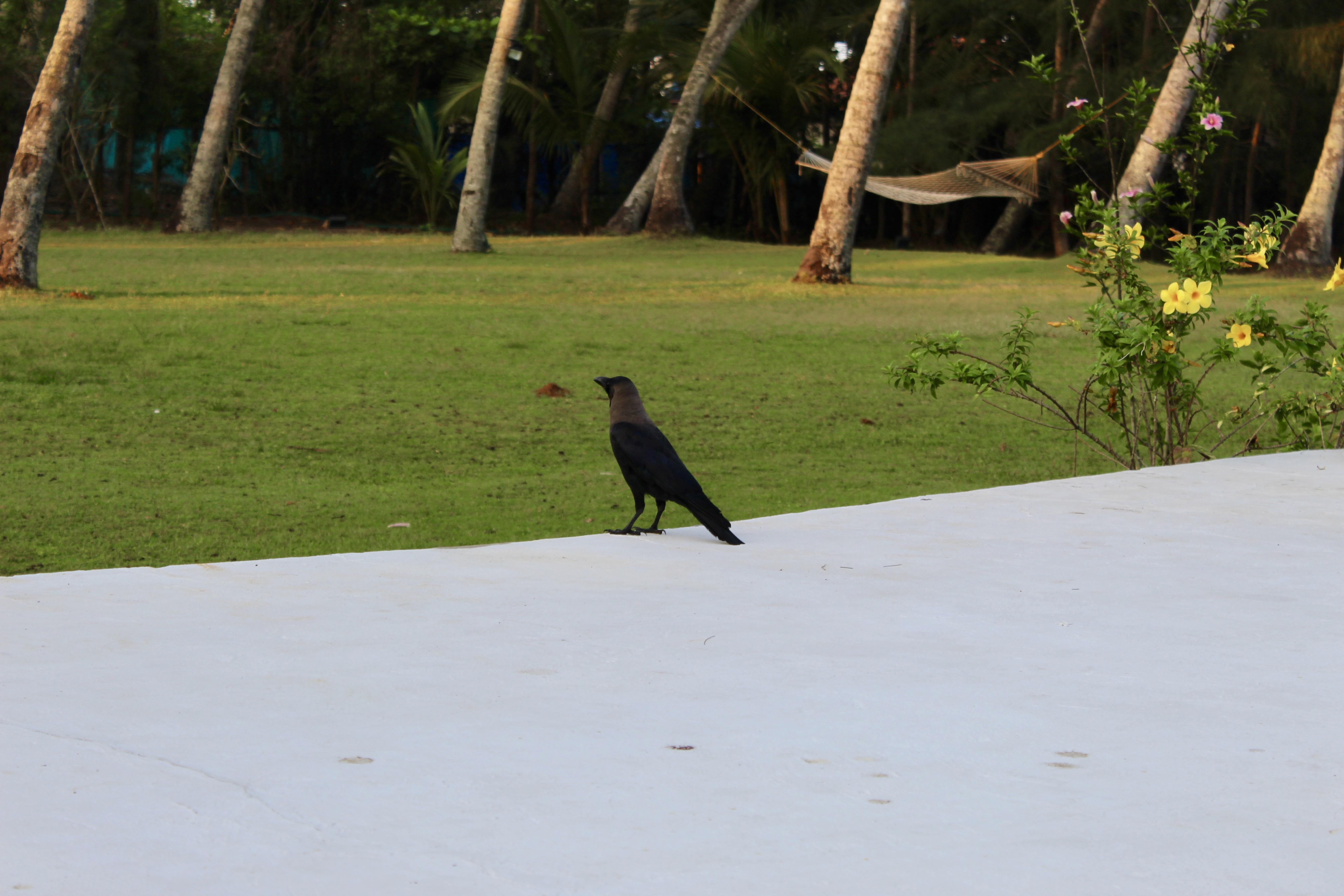 Carnoustie - House Crow