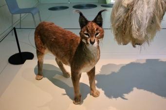 Caracal - Desert Lynx