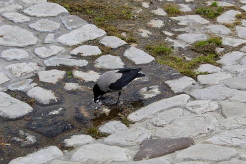 Crow eating a small fish
