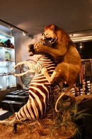 Lion killing a Zebra