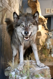 Grey wolf from Canada