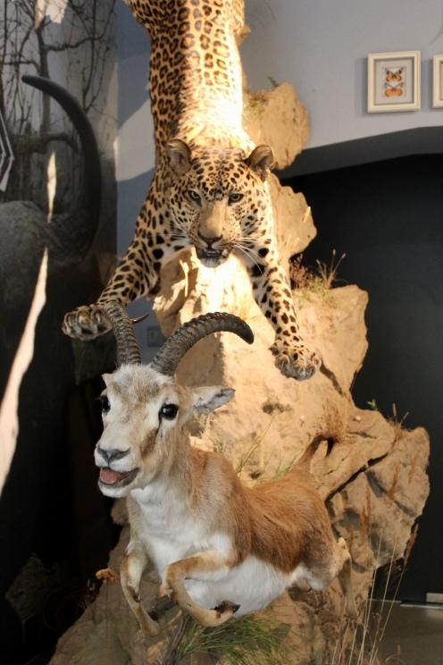 Leopard attacking a gazelle