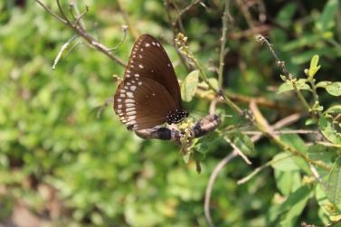 Carnoustie - Butterflies