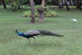 Carnoustie - Peacock